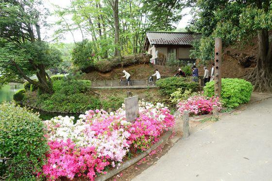 町田薬師池公園 躑躅