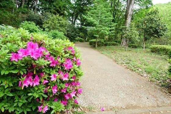 町田薬師池公園 つつじ