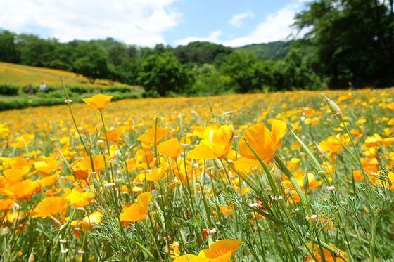 長瀞 花の里 カリフォルニアポピー