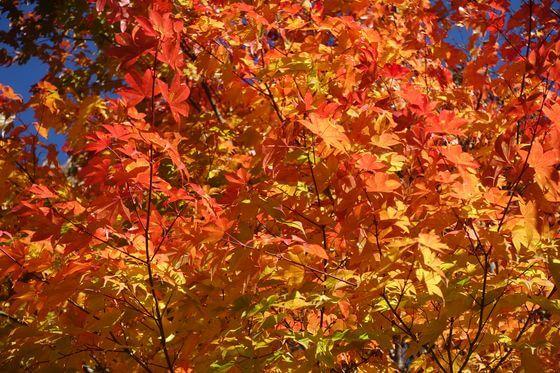 西沢渓谷 紅葉 現在