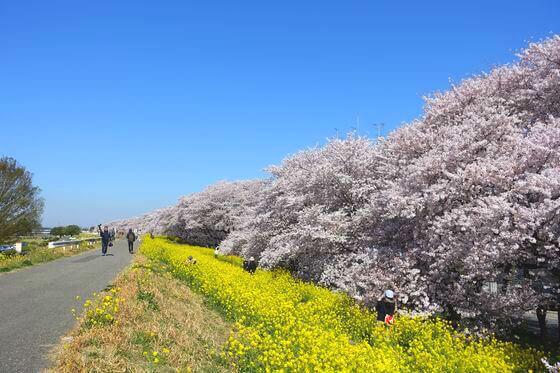 埼玉 桜 名所