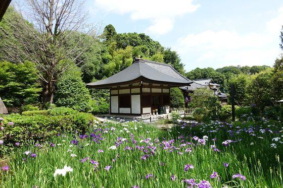 正覚寺 横浜 ハナショウブ