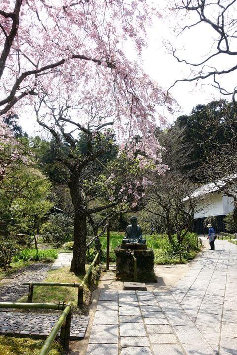 鎌倉 東慶寺 しだれ桜