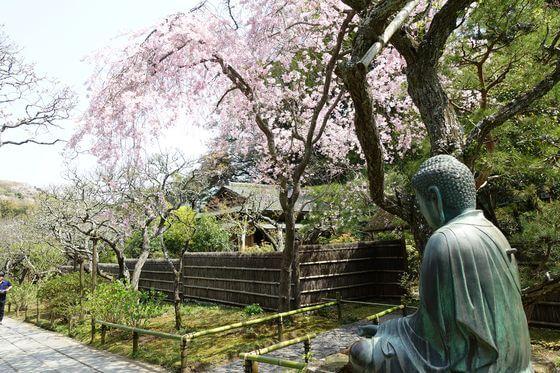 東慶寺 しだれ桜