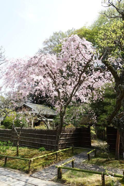 東慶寺 鎌倉 しだれ桜