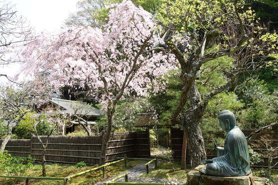 鎌倉 東慶寺 枝垂れ桜