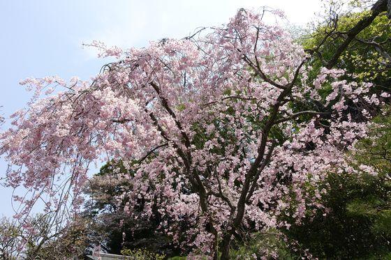 東慶寺 鎌倉 枝垂れ桜