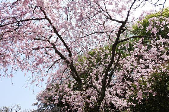 東慶寺 しだれ桜 見頃