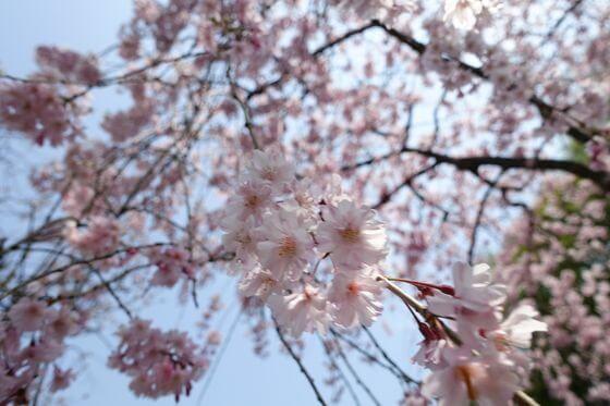 北鎌倉 しだれ桜