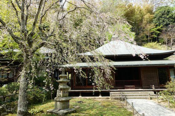 東慶寺 枝垂れ桜