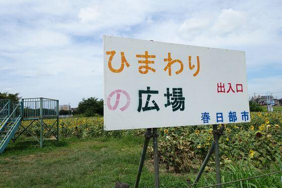 牛島古川公園 ひまわり畑