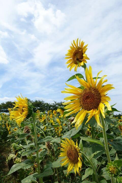 牛島古川公園 向日葵