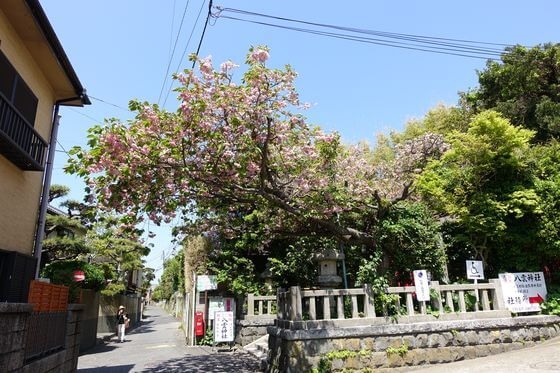 八雲神社 鎌倉 桜