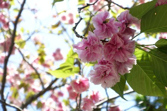 鎌倉 八雲神社 桜 見頃