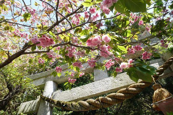 八雲神社 鎌倉 八重桜