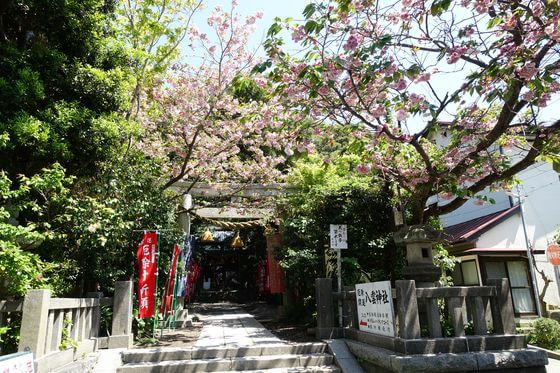 鎌倉 八雲神社 桜