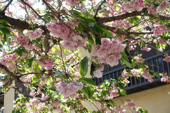 大町 八雲神社 桜