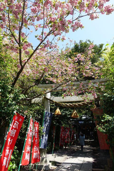八雲神社 大町 桜