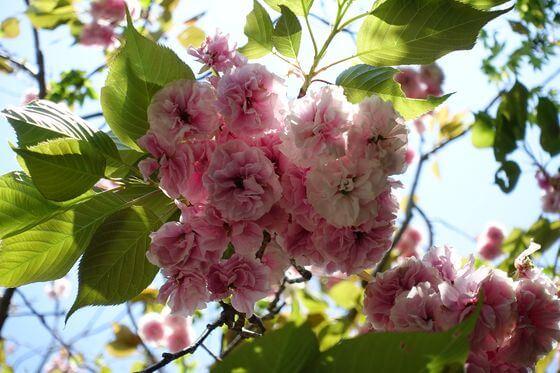 鎌倉 八雲神社 八重桜