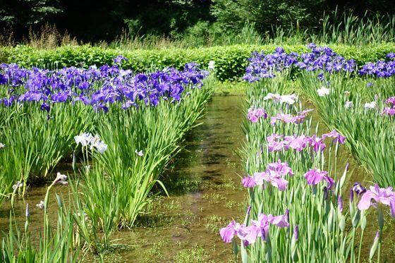 神代植物公園 水生植物園 花菖蒲