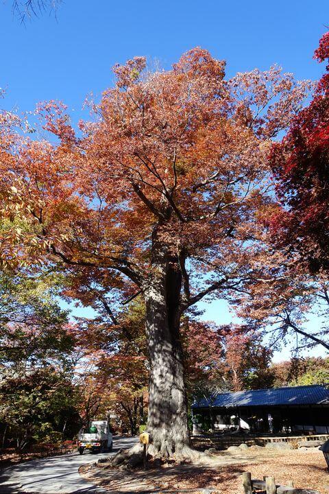 懐古園 大欅 紅葉