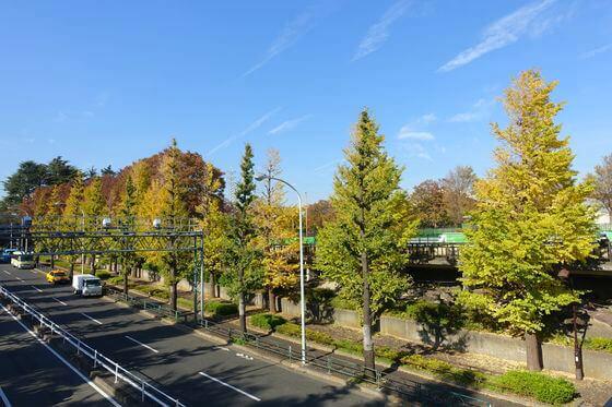駒沢公園 イチョウ