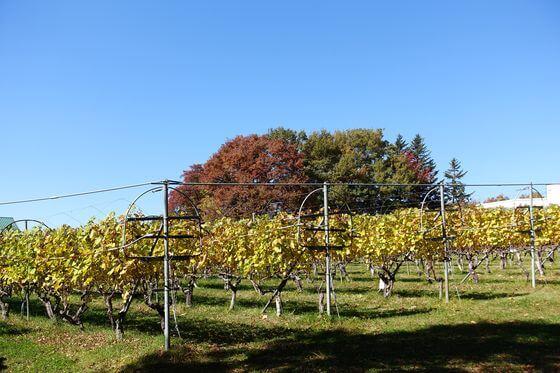 マンズワイン小諸ワイナリー 収穫祭