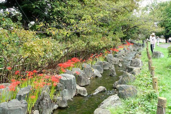 東綾瀬公園 ヒガンバナ