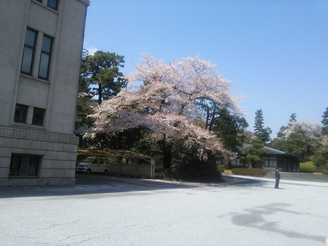 宮内庁 桜