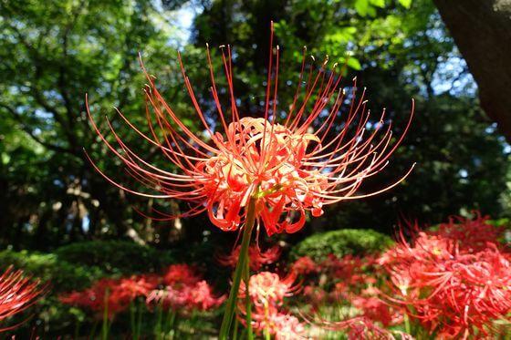 小石川植物園 彼岸花 開花状況