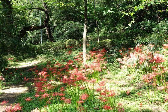 小石川植物園 彼岸花 見頃