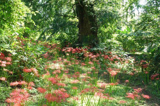 小石川植物園 曼珠沙華