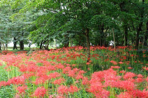 大木島自然公園 彼岸花