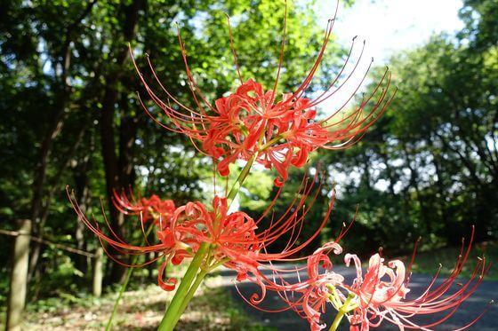 昭和記念公園 こもれびの丘 曼珠沙華