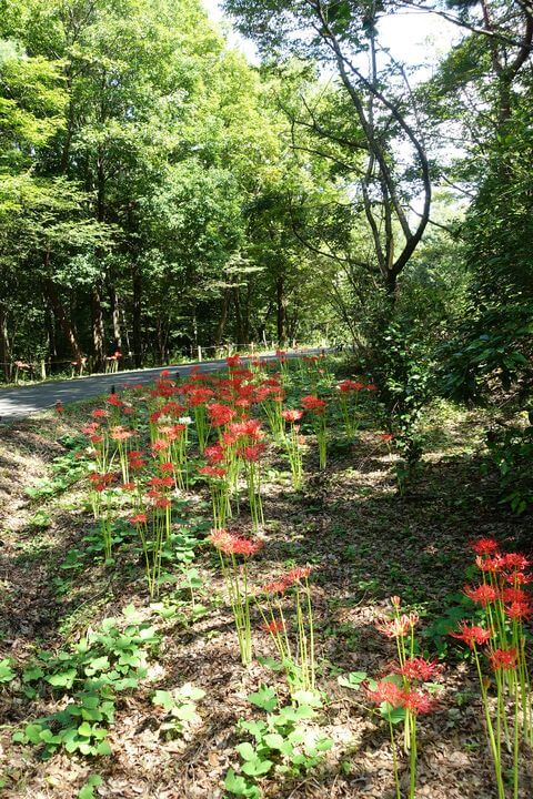 昭和記念公園 こもれびの丘 彼岸花