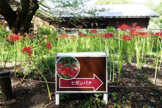 昭和記念公園 こもれびの家 彼岸花