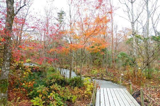 箱根湿生花園 紅葉 見頃