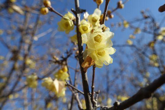古代蓮の里 蝋梅