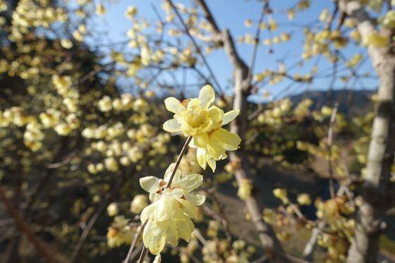 梅の公園 蝋梅