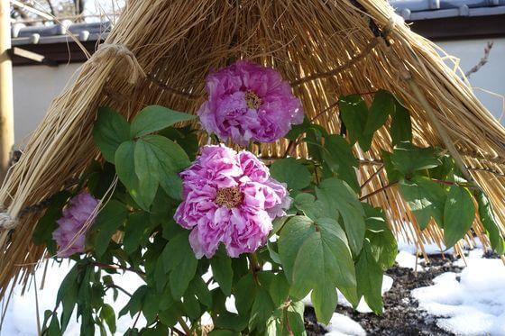 上野 牡丹
