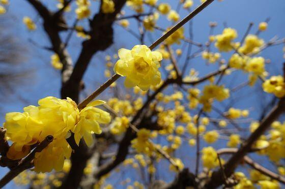 上野東照宮ぼたん苑 蝋梅