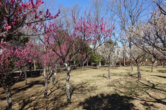 青葉の森公園 梅林