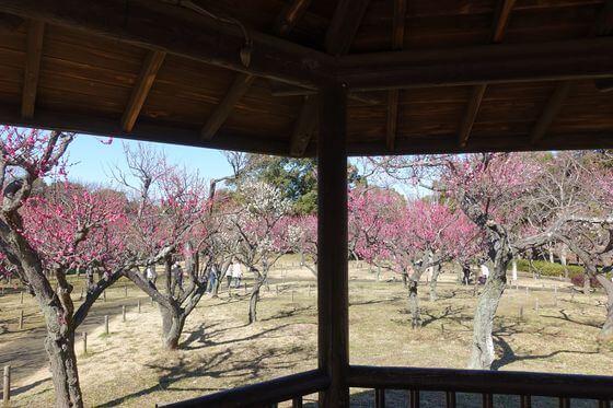 青葉の森公園梅