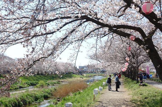 朝霞市 桜