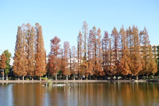 別所沼公園 メタセコイア 紅葉