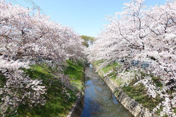 深谷市 桜