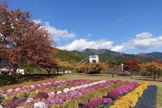 秦野戸川公園 ざる菊