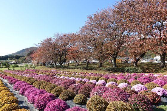 菊 秦野戸川公園