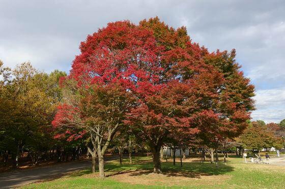光が丘公園 けやき広場 紅葉