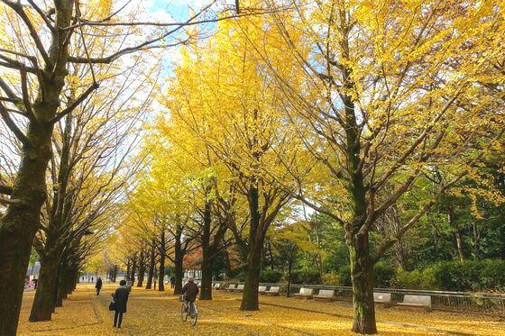 光が丘公園 イチョウ並木 紅葉